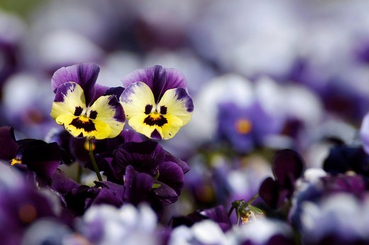 Pansies Viola hybrida : Stock Photo