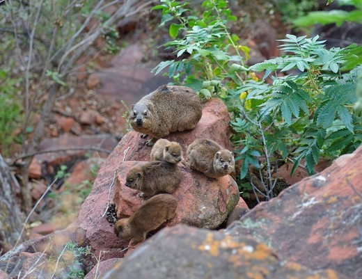 Stock Photo: 1848R-314325 Rock Hyrax Procavia capensis with young animals in the Waterberg National Park, Namibia, Africa