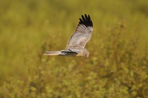 Stock Photo: 1848R-314415 Male Hen Harrier Cirkus cyaneus in flight