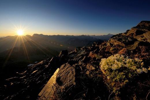 Stock Photo: 1848R-315557 Sunrise with Saxifrage or Stone_breakers Saxifraga bryoides, Gaschurn, Montafon, Vorarlberg, Austria, Europe