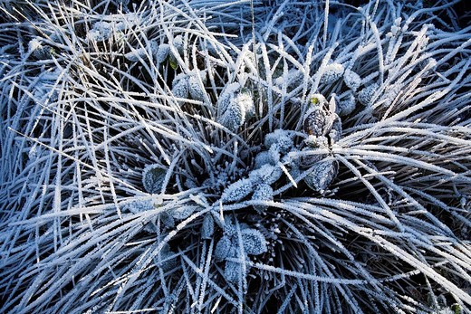 Stock Photo: 1848R-315643 Hoar frost crystals on grass