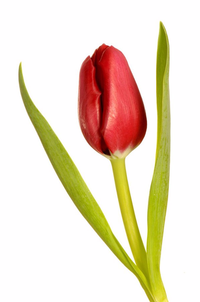 Stock Photo: 1848R-315687 Tulip tulipa