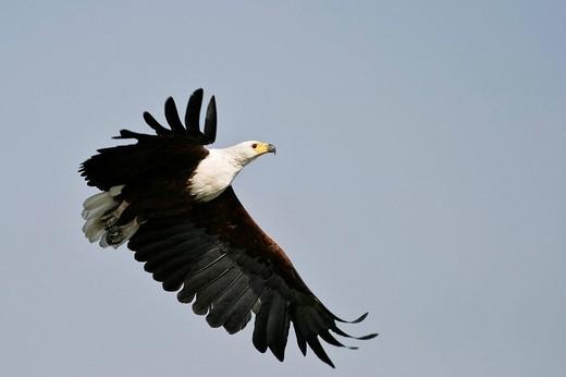 Stock Photo: 1848R-316097 Flying african Fish Eagle Haliaeetus vocifer, Chobe River, Chobe National Park, Botswana, Africa