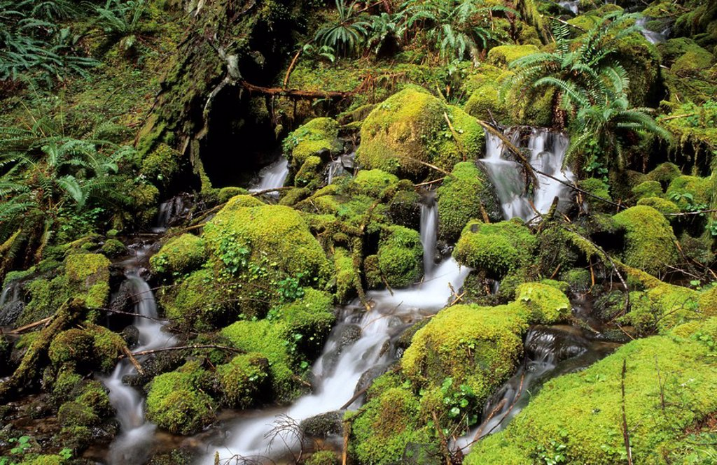 Small stream running through moss pads in the temperate rainforest of Mount Rainier National Park, Washington state : Stock Photo