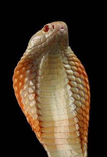 Albino cobra, Naja naja : Stock Photo