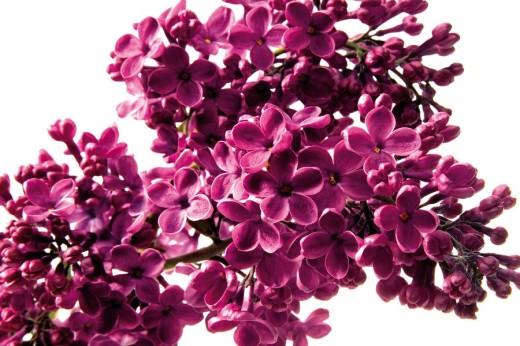 Purple Lilac Syringa : Stock Photo