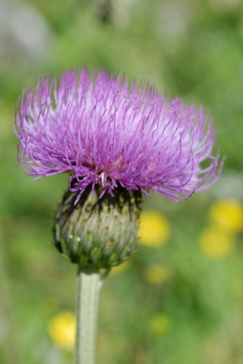 Violet coloured flower of a Spear Thistle, Bull thistle or Plumed thistle Cirsium vulgare, Pendling, Tyrol, Austria, Europe : Stock Photo