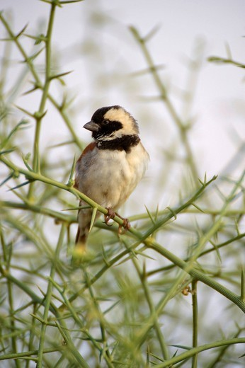 Stock Photo: 1848R-317481 Cape Sparrow or Mossie Passer melanurus perched on nara plant Acanthosicyos horridus near the Dead Vlei, Namibia, Africa