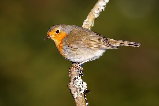 Robin Erithacus rubecula sitting on a branch : Stock Photo