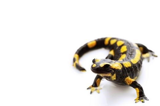 Fire Salamander Salamandra salamandra : Stock Photo