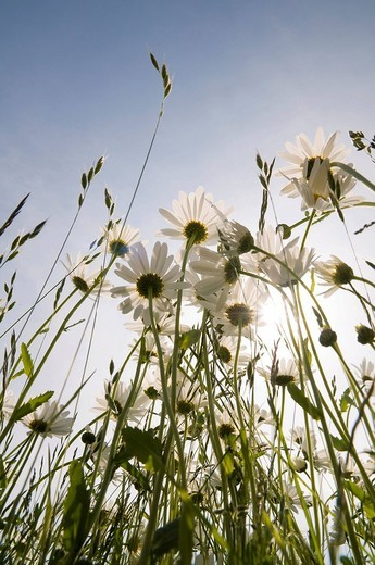 Stock Photo: 1848R-318650 Marguerites with sun and blue sky, backlight