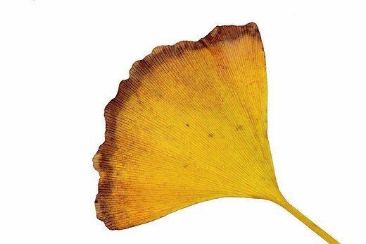 Autumnal leaf of Ginkgo bilobis, the oldest living fossile in the botanical world : Stock Photo