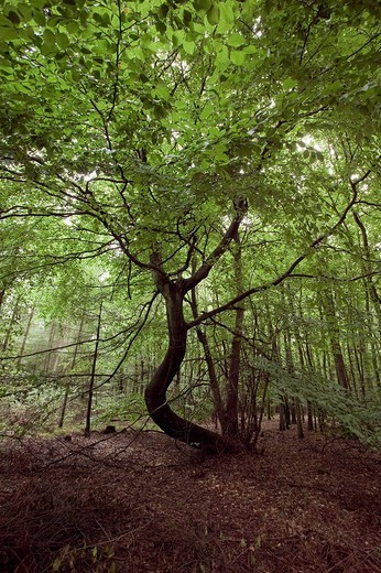 Stock Photo: 1848R-319243 Crooked tree in a forest, Mecklenburg-Western Pomerania, Germany, Europe