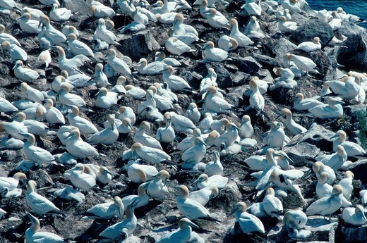 Northern Gannet colony, Cape St Mary, Newfoundland, Canaca / Morus bassanus : Stock Photo