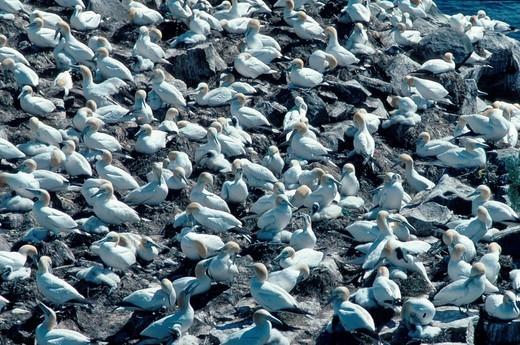 Stock Photo: 1848R-319658 Northern Gannet colony, Cape St Mary, Newfoundland, Canaca / Morus bassanus