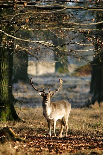 Fallow deer Dana dana in the forest : Stock Photo