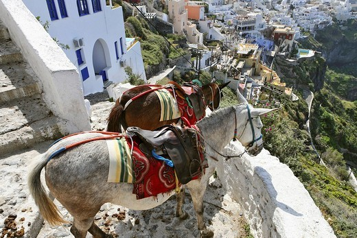 Donkeys at one of the steep alleys at the caldera, Thira, Santorini, Greece : Stock Photo