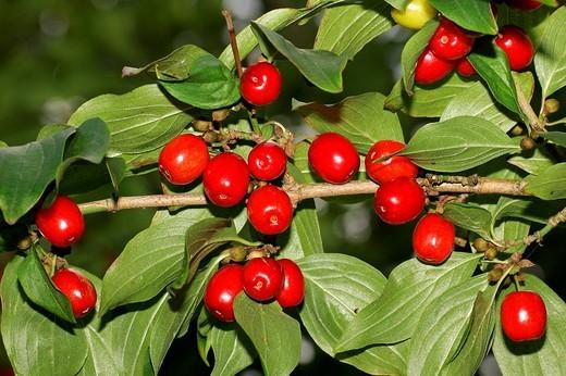 Cornelian cherry - branch with berries - fruits Cornus mas : Stock Photo