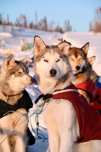 Stock Photo: 1848R-320122 Dog team with dog jackets, Alaskan Huskys, resting, Yukon Territory, Canada