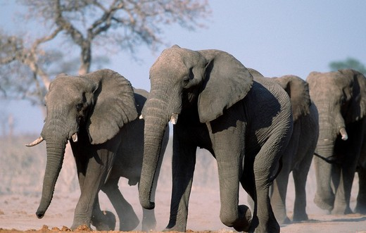 Stock Photo: 1848R-320590 African Elephants, Chobe national park, Botswana / Loxodonta africana