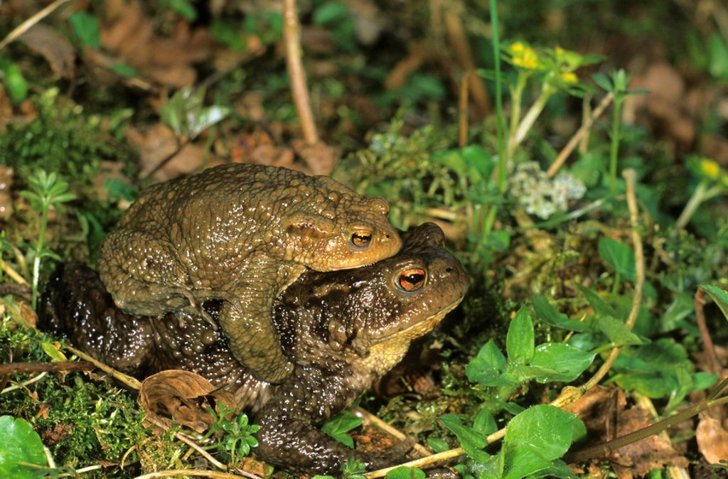 Common Toads Bufo bufo on the way to spawning waters : Stock Photo