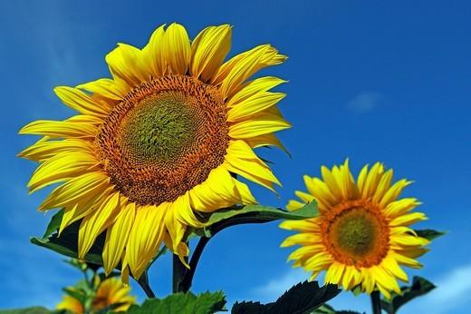 Stock Photo: 1848R-320730 Sunflowers Helianthus annuus