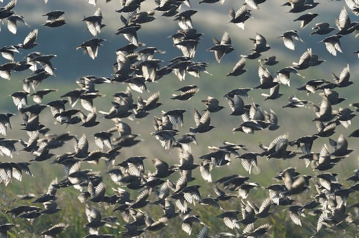 Flock of Starling Sturnus vulgaris : Stock Photo