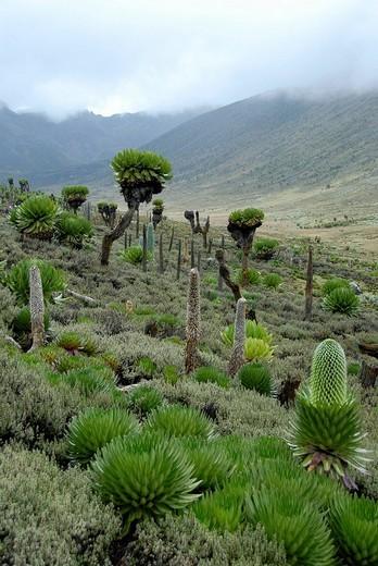 Natural garden of endemic giant groundsel Senecio keniodendron giant lobelias Lobelia deckenii ssp  keniensis and lobelia Lobelia telekii Mount Kenya National Park Kenya : Stock Photo
