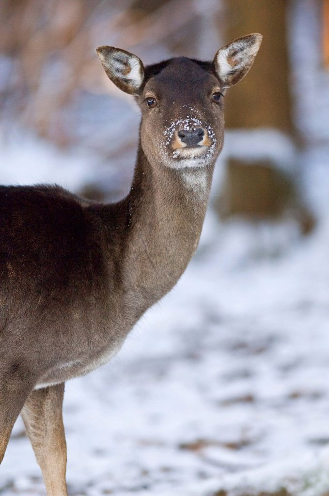 European Fallow Deer Dama dama, doe : Stock Photo