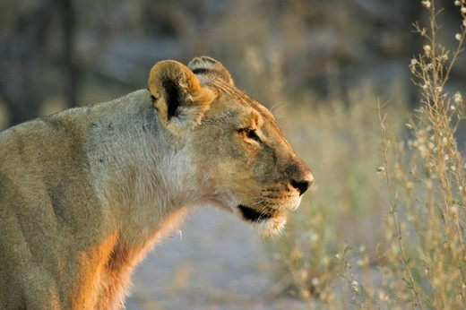 Lioness Panthera leo Nxai Pan, Makgadikgadi Pans National Park, Botswana, Africa : Stock Photo