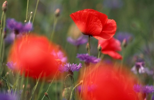 Common Poppy / Papaver rhoeas : Stock Photo