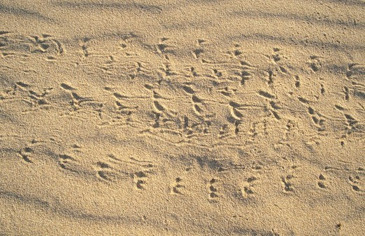 Stock Photo: 1848R-322157 Animal tracks in the sand
