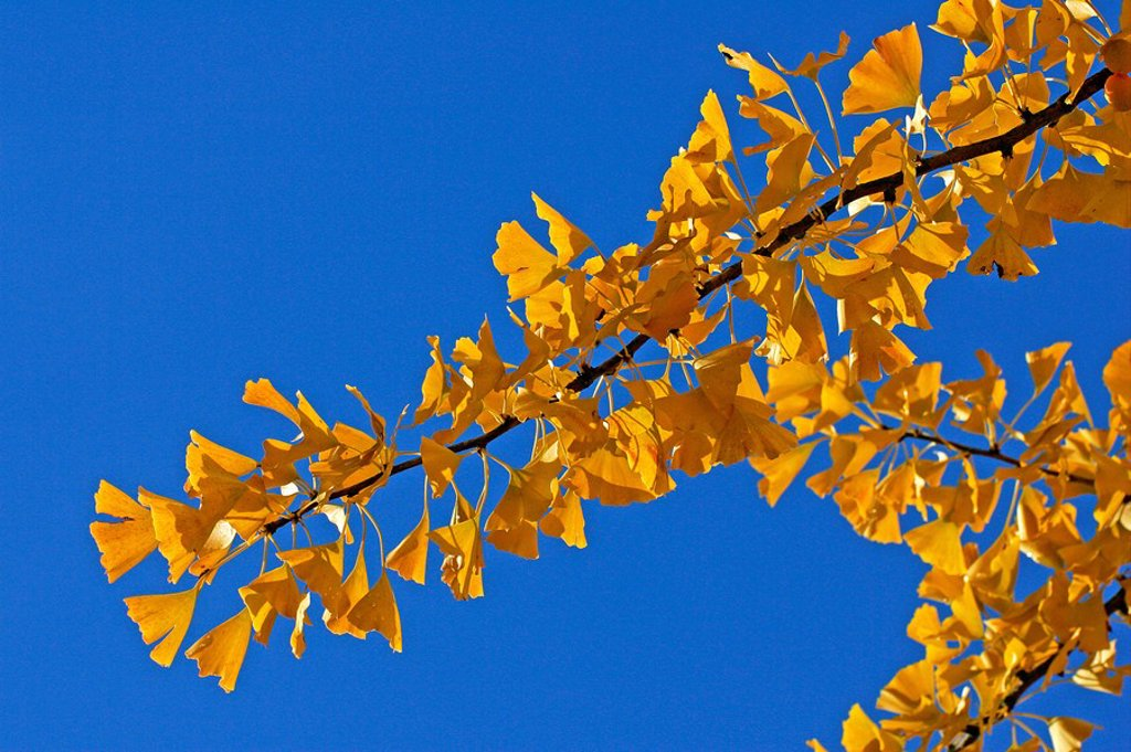 Ginkgo tree - maidenhair-tree - leaves in autumn colours - yellow foliage Ginkgo biloba : Stock Photo