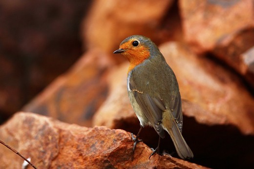 Stock Photo: 1848R-322188 Robin Erithacus rubecula