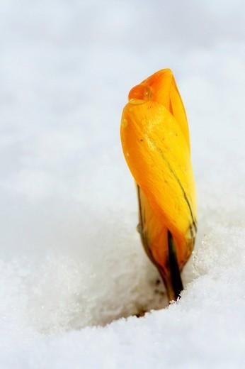 Yellow Crocus Crocus vernus, closed blossom peeking through the snow : Stock Photo