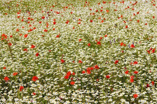 Field Poppies or Red Poppies Papaver rhoeas and Daisies Leucanthemum growing on a colourful meadow, Brand, Middle Franconia, Bavaria, Germany, Europe : Stock Photo