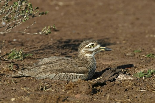 Stock Photo: 1848R-322461 Spotted Thick-knee Burhinus capensis, Water Thick-knee Burhinus vermiculatus, Chobe River National Park, Botswana, Africa
