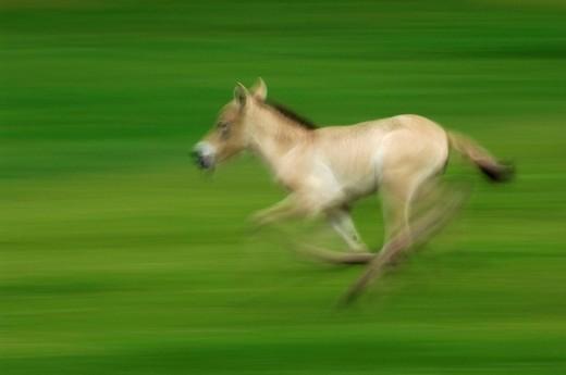 Stock Photo: 1848R-322913 Przewalski´s Horse Equus przewalskii, Switzerland