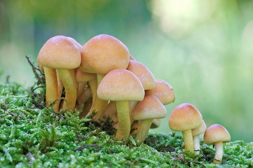 Yellow mushrooms on a moosed trunk : Stock Photo