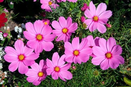 Stock Photo: 1848R-323533 Flowering Mexican Aster or Garden Cosmos Cosmos bipinnatus