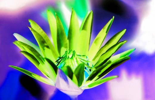 Water lily blossom : Stock Photo