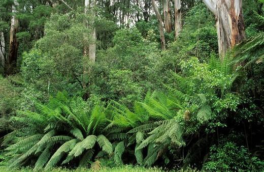Stock Photo: 1848R-324213 Temperate rainforest, Otway National Park, Great Ocean Road, Victoria, Australia
