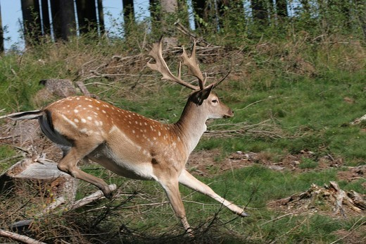 Stock Photo: 1848R-324252 Fallow deer stag dama dama fleeing
