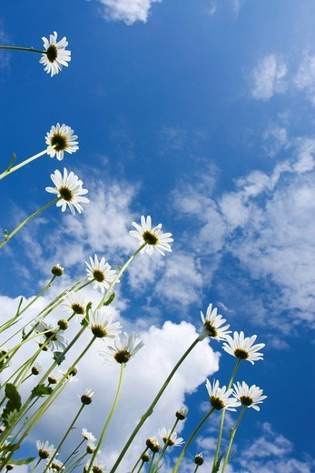 Oxeye Daisies Leucanthemum vulgare : Stock Photo