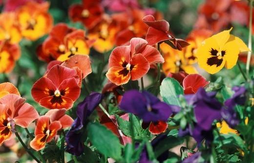 Pansies Viola hybrida : Stock Photo