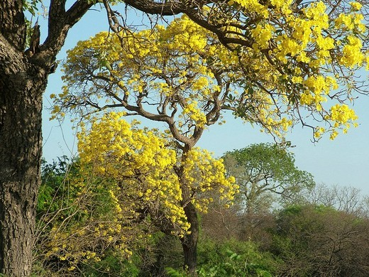 Chaco landscape in spring with typical trees: foreground: Paratodo with yellow flowers Tabebuia caraiba, background bottle tree Chorisia insignis, Gran Chaco, Paraguay : Stock Photo
