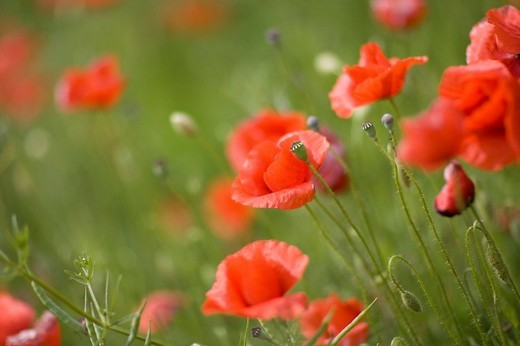 Corn poppy, Papaver rhoeas : Stock Photo
