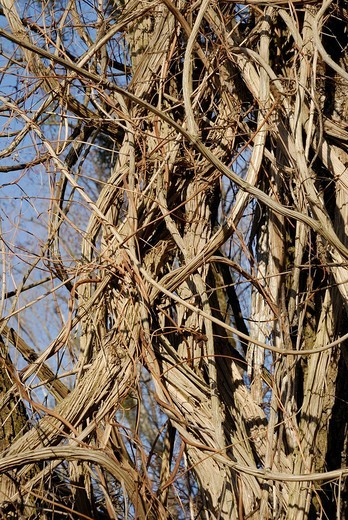 Stock Photo: 1848R-325362 Thicket of Old Man´s Beard or Traveller´s Joy Clematis vitalba vines
