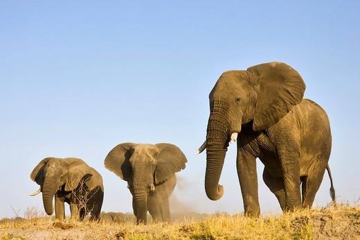 African Bush Elephants Loxodonta africana, Chobe River, Chobe National Park, Botswana, Africa : Stock Photo