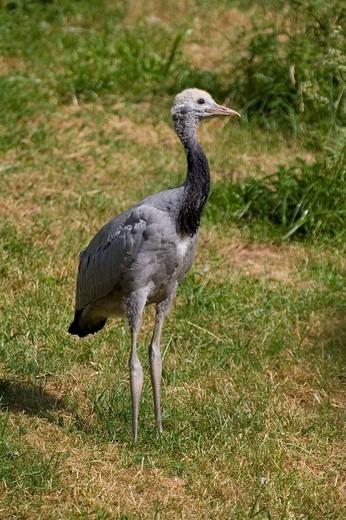 Young Demoiselle crane : Stock Photo